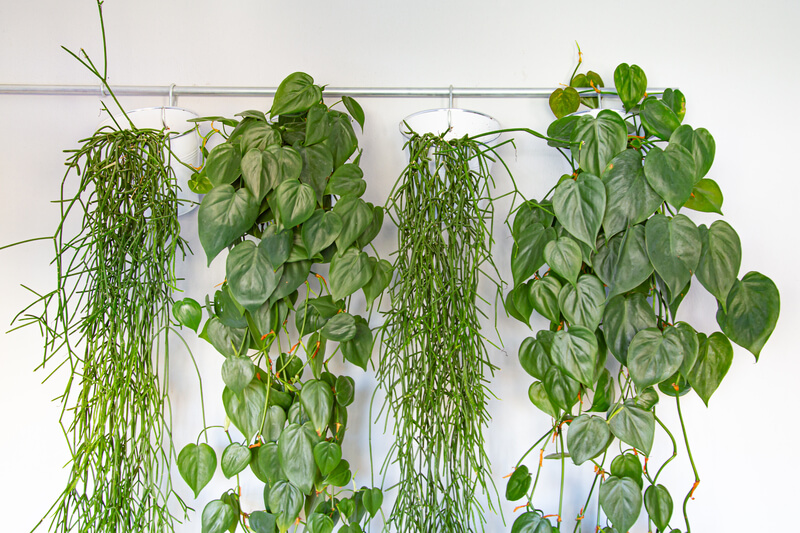hangplanten